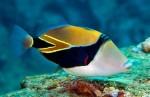 Reef-Triggerfish